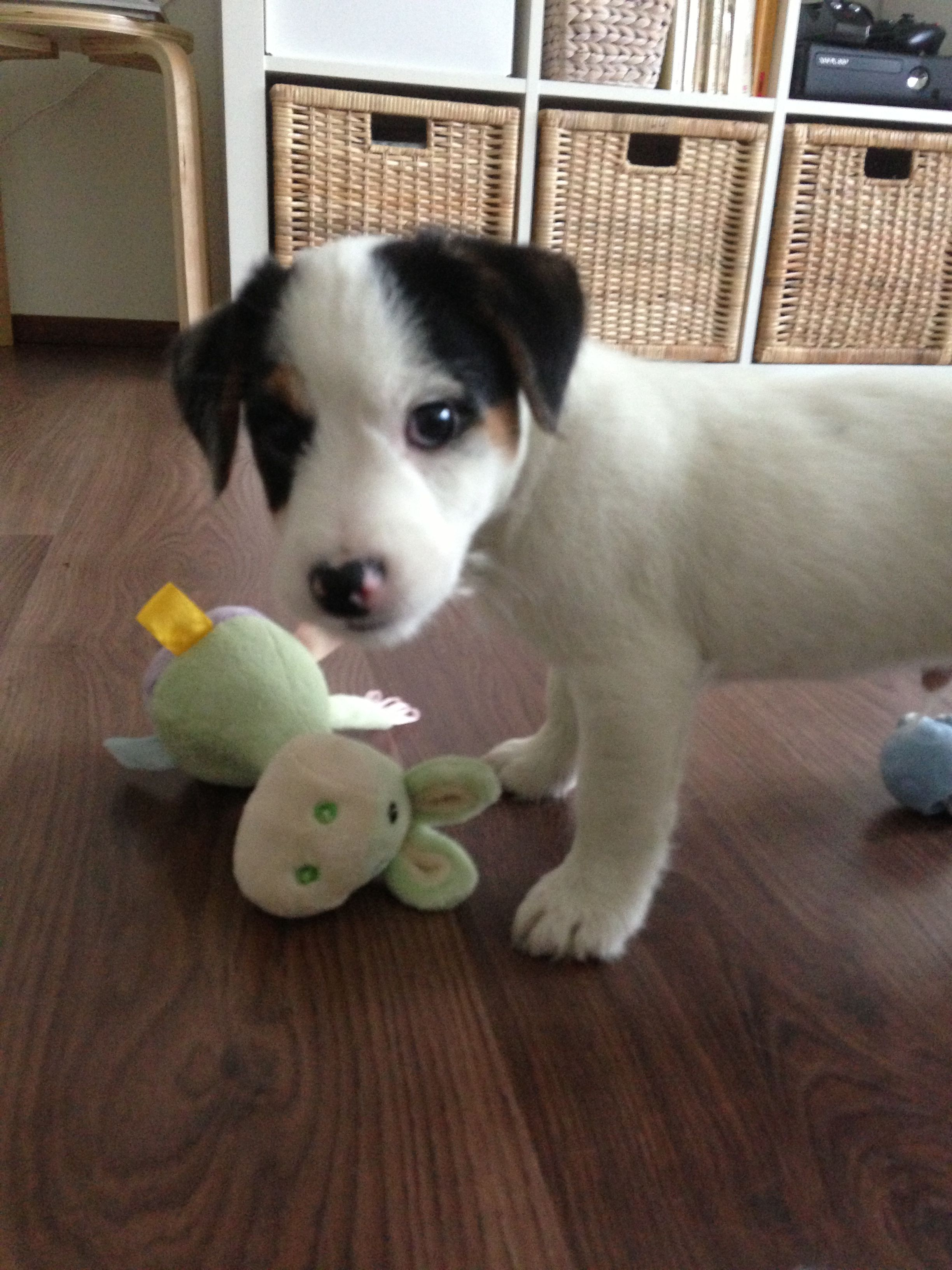 Goku Jackrussell Puppy Jack Russell Jack Russell Terrier Dogs