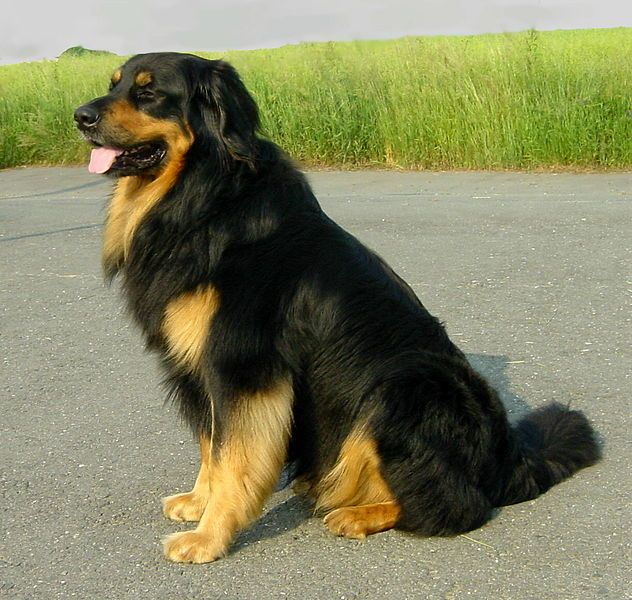 Hovawart. Just like a golden, but with Rottweiler color