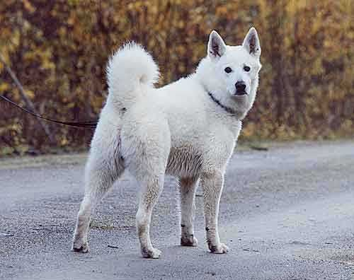 Swedish White Elkhound With Images Dog Breeds Norwegian