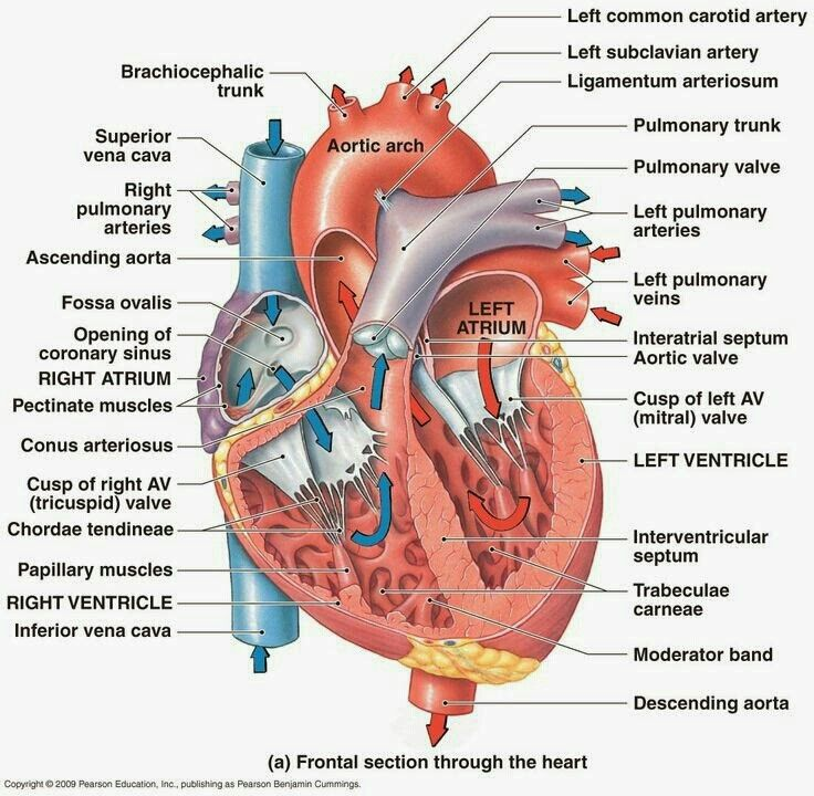 Heart Anatomy | Science | Pinterest | Heart anatomy