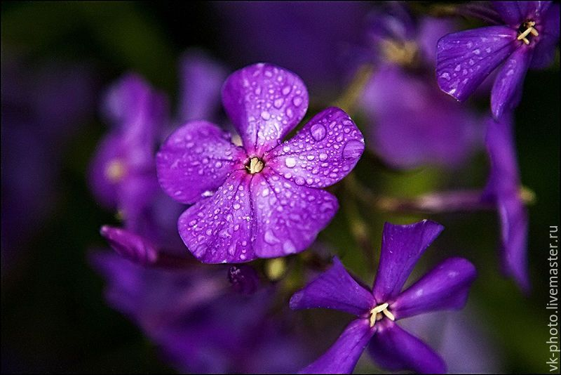 Цветок лиловый