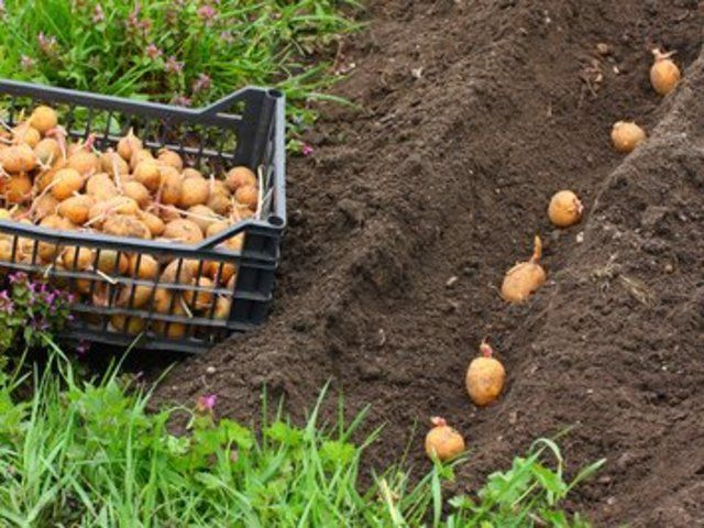 Comment planter facilement des pommes de terre au potager ...