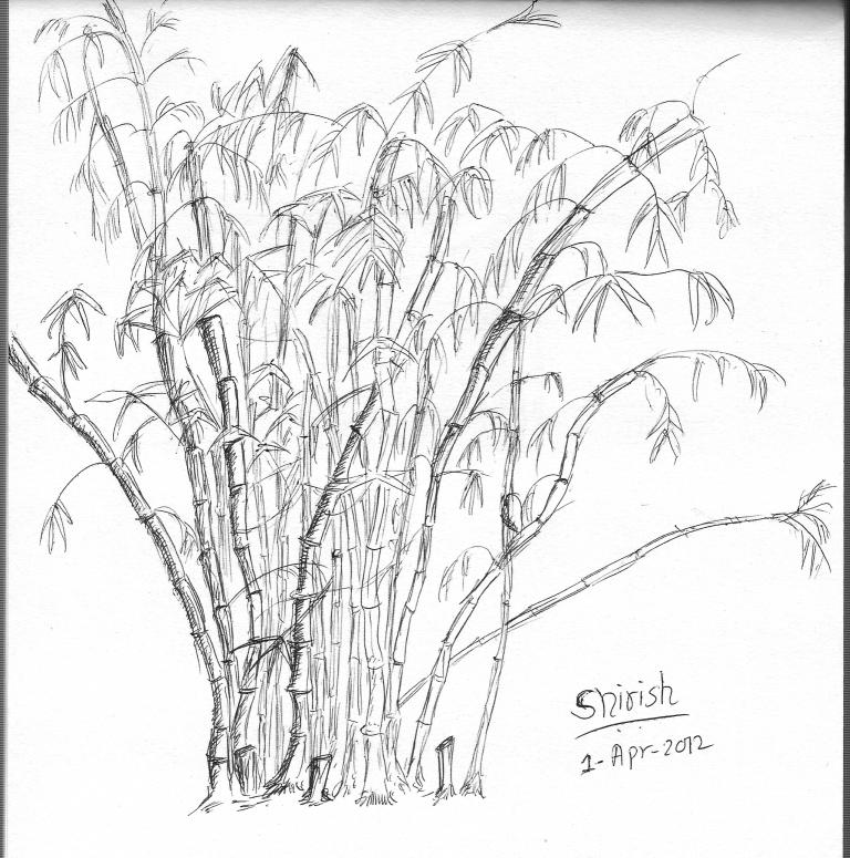 How To Draw Bamboo Tree Bamboo Drawing Bamboo Tree How To Draw Bamboo
