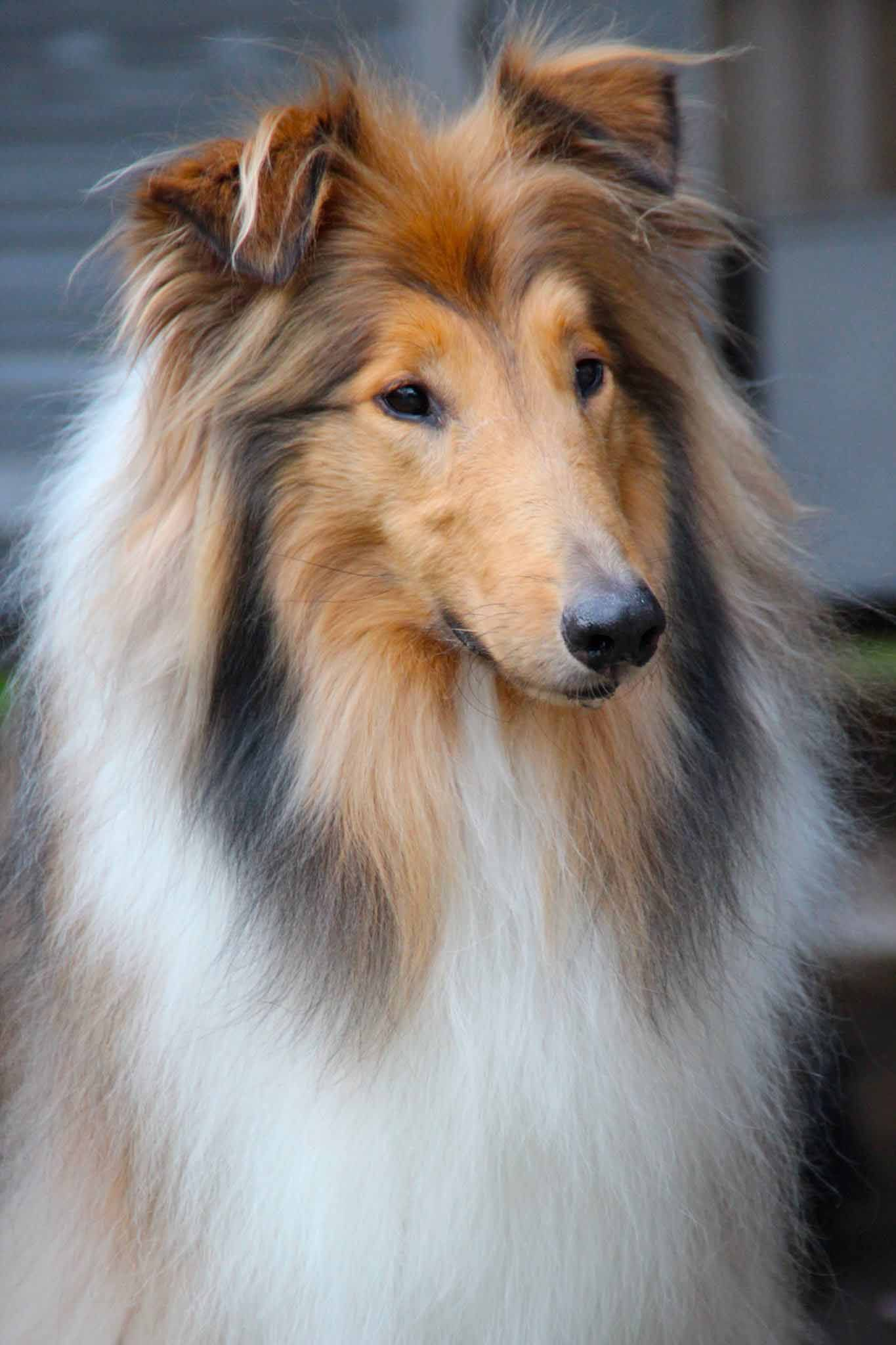 Dany A Handsome Gold Rough Collie With A Sweet Intelligent Face
