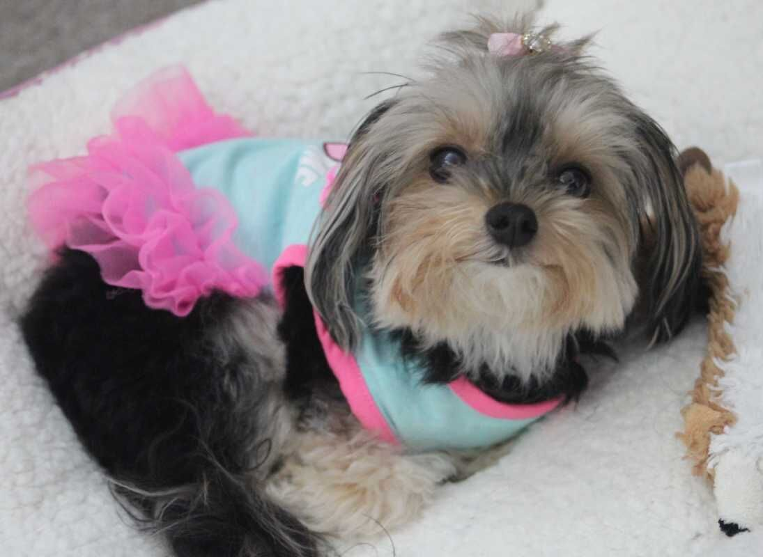 AD0PTED 2 YO Teacup Yorkie For Private Adoption Meet