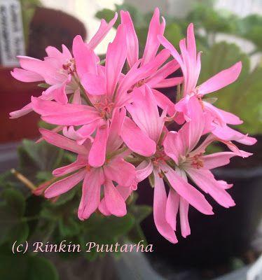 Pelargonitaivas: Lucie Caws. Tähtipelargoni Lucie Caws (B. West) kukkii vaaleanpunaisin kerrotuin kukin. Terälehdet ovat kapeat, lehdet vihreät ja niissä on leveä, tumma vyöhyke.
