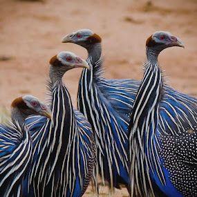 Giunea fowl, Africa..real weird!