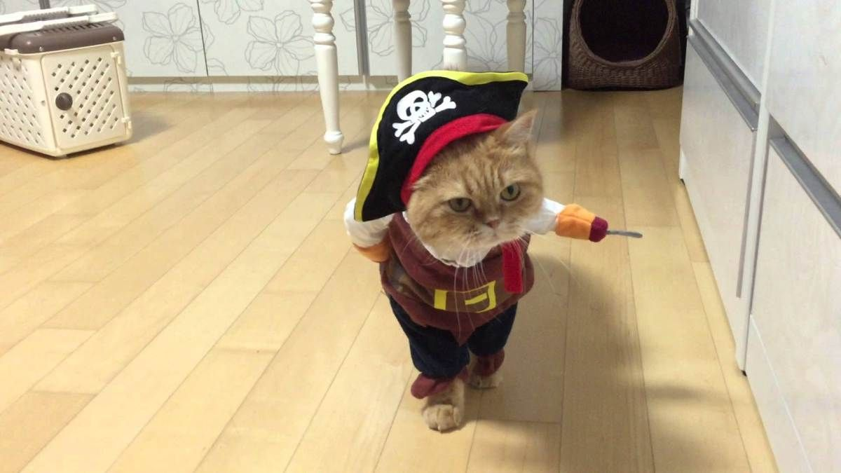 Collegial Cat Allows His Humans To Dress Him In A Jack Sparrow Pirate Costume For Halloween Pirate Cat Cats Cat Memes