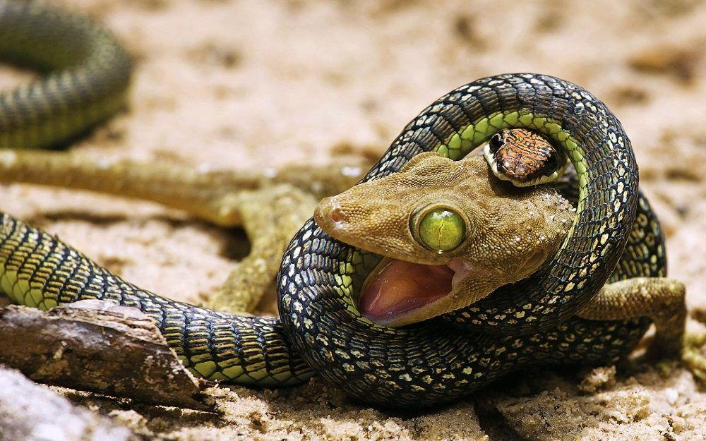 Serpiente Cazando A Una Presa Aves De Compañía Animales Reptiles