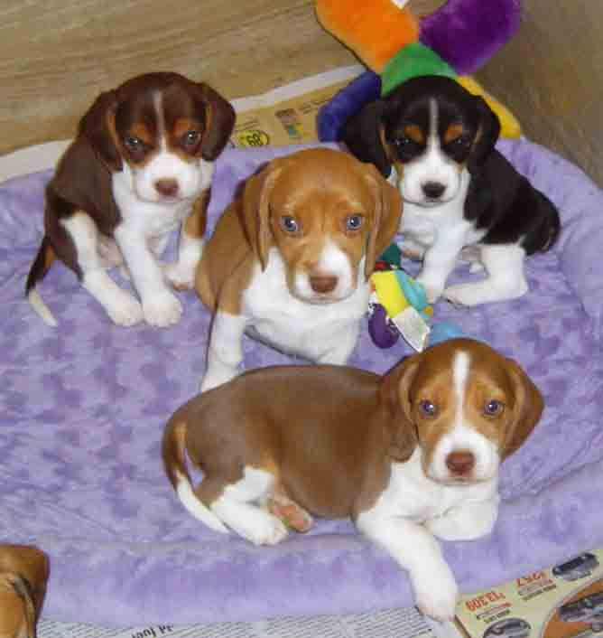 puppy photos View Full Size More   m5x eu beagle puppy - new coloring pages beagle puppies