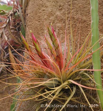 Tillandsia Varieties Cart 0 Account Concolor Tillandsia Species