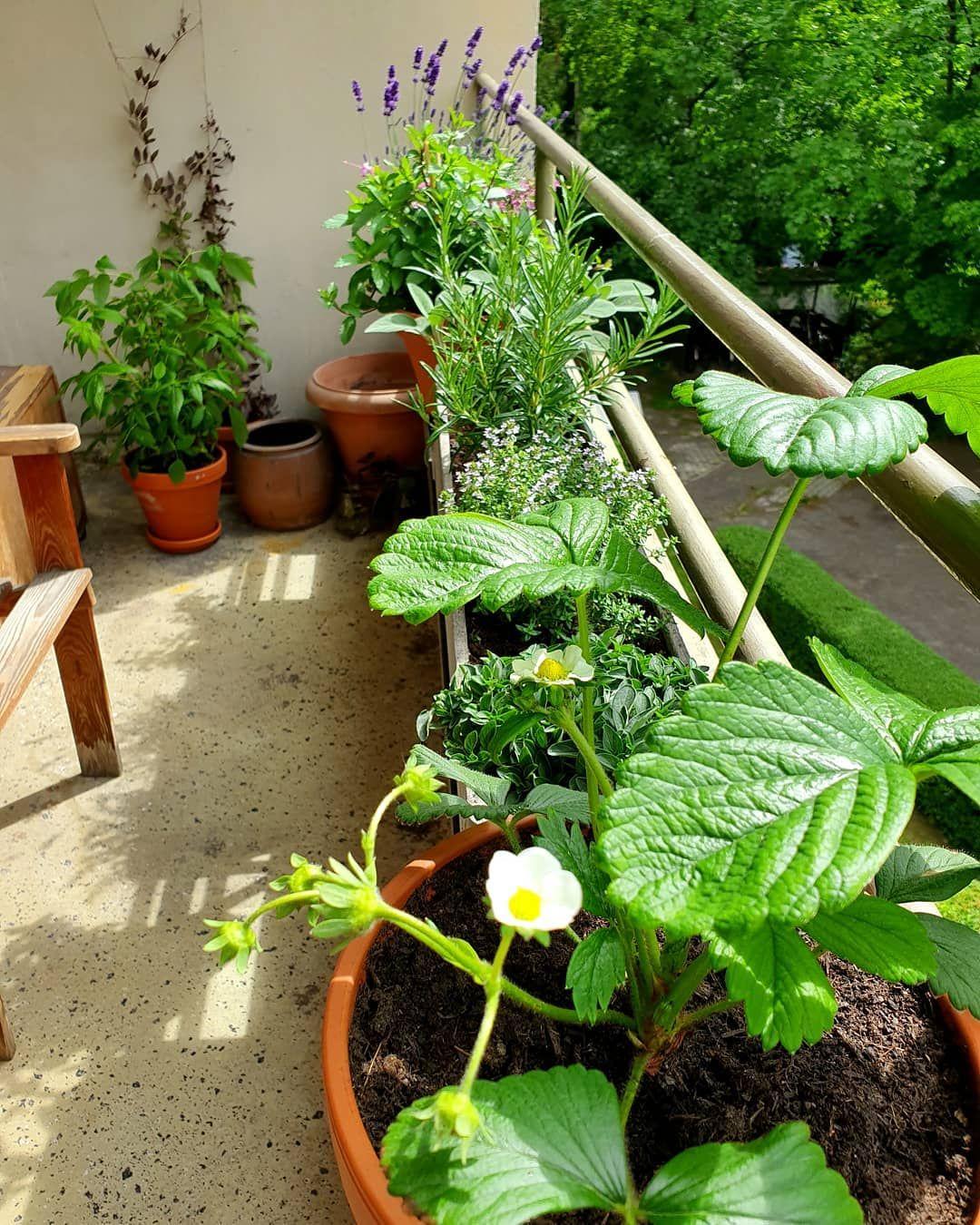 #myherbgarden 3.0  #herbs #garden #gardening #urbangardening #balcony #strawberry #thyme #lavender #blossom #flourishing #plasticfree #selfsufficiency #kräutergarten #stadtgarten #balkongarten #ausgleich #wohlfühloase #selbstversorgung #gesundesessen #bienenweide #nachhaltigkeit #nachhaltigleben #müllvermeidung #kräutergartenbalkon