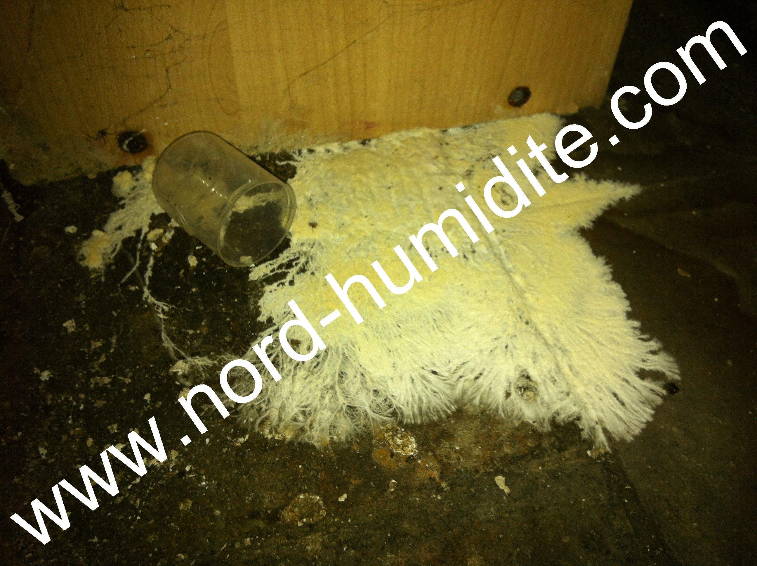 Super champignon blanc de cave : merule. www.nord-humidite.com  XT58