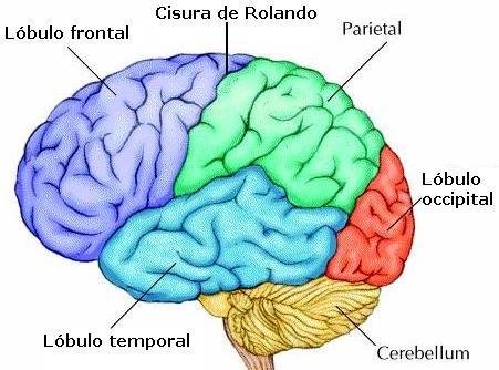 Partes Del Cerebro Para Colorear Google Search Cerebro