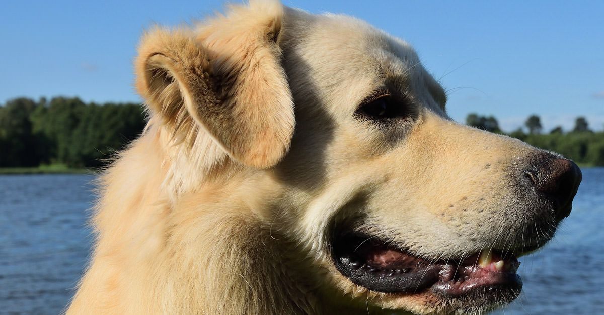 Does Your Dog Have Floppy Ears? Skipping This Weekly Task