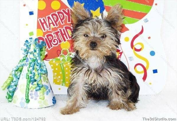 Yorkie With Gifts Balloons Happy Birthday Happy Birthday Theme
