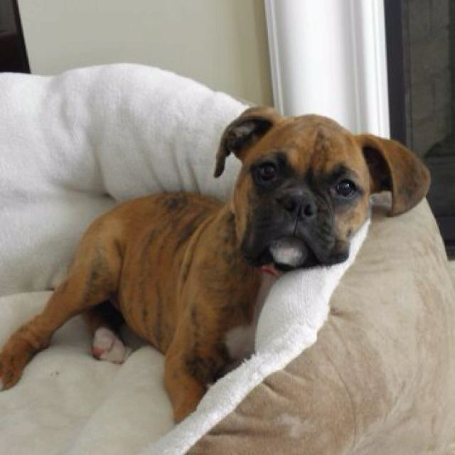 Boxer Puppy 3 Boxer Dog Breed Boxer Puppies Boxer Dogs