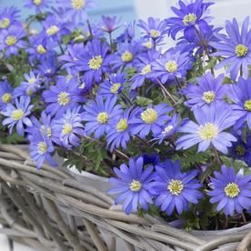 75 Count Wind Flowers Anemone Blue Shades Bulbs Lowes Com Bulb Flowers Anemone Flowers