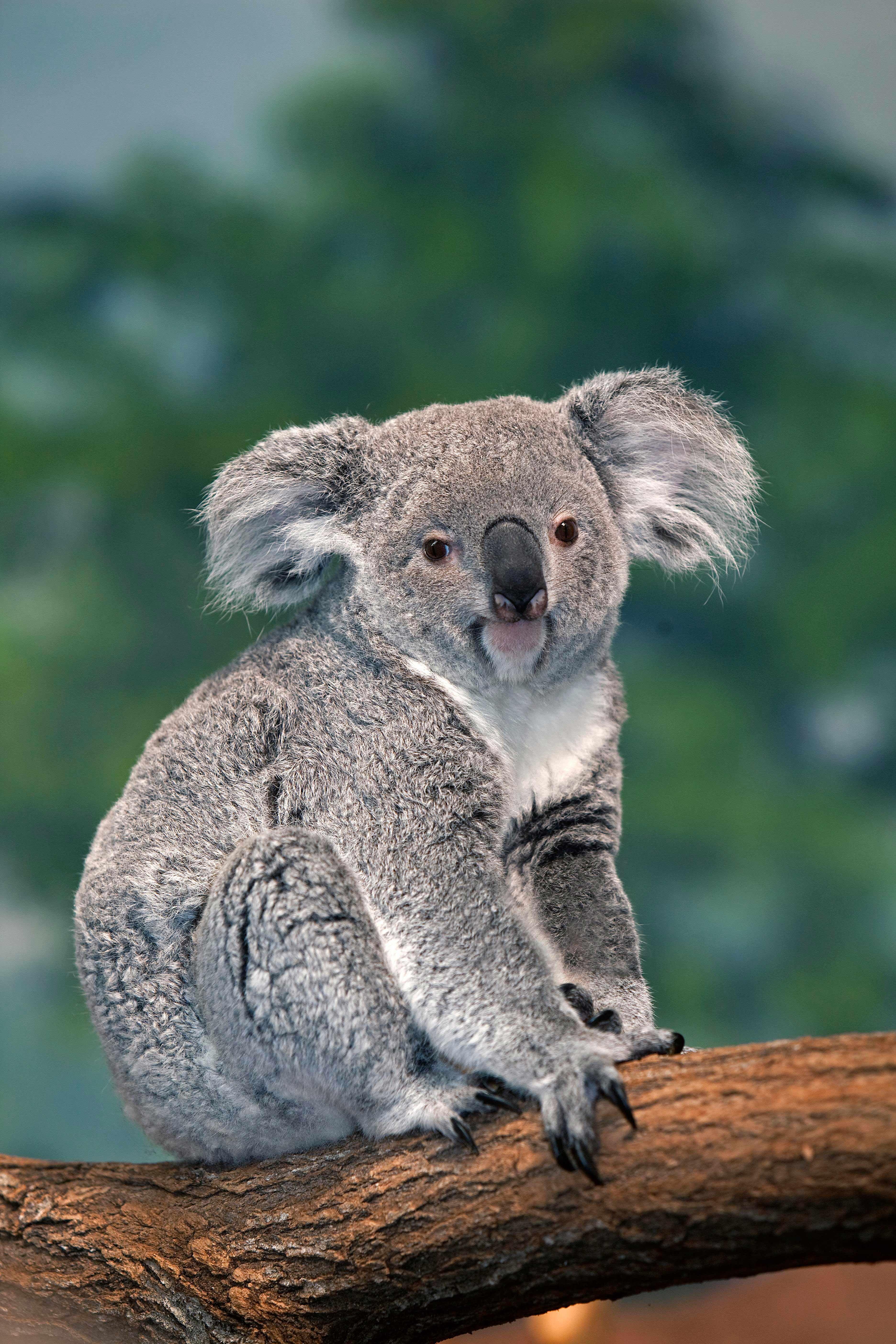 Koala Gerard Lacz Pour Le Zooparc De Beauval Koalas Pinterest