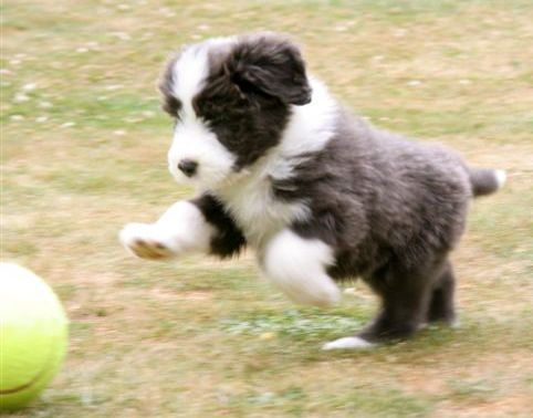 Bearded Collie Puppy Little Ball Of Fluff Bearded Collie Puppies