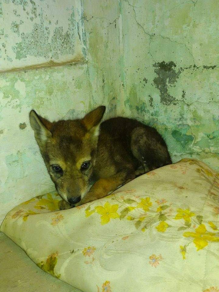 This is a story of a wolf pup rescue In Pakistan. Omer, a