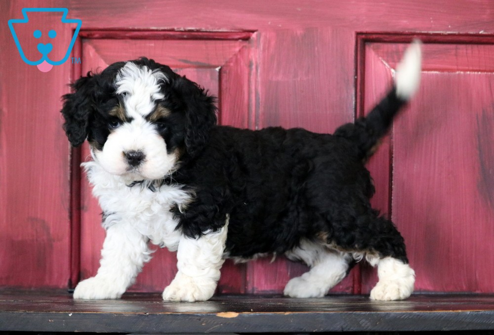 Victor In 2020 Mini Puppies Bernedoodle Puppies For Sale