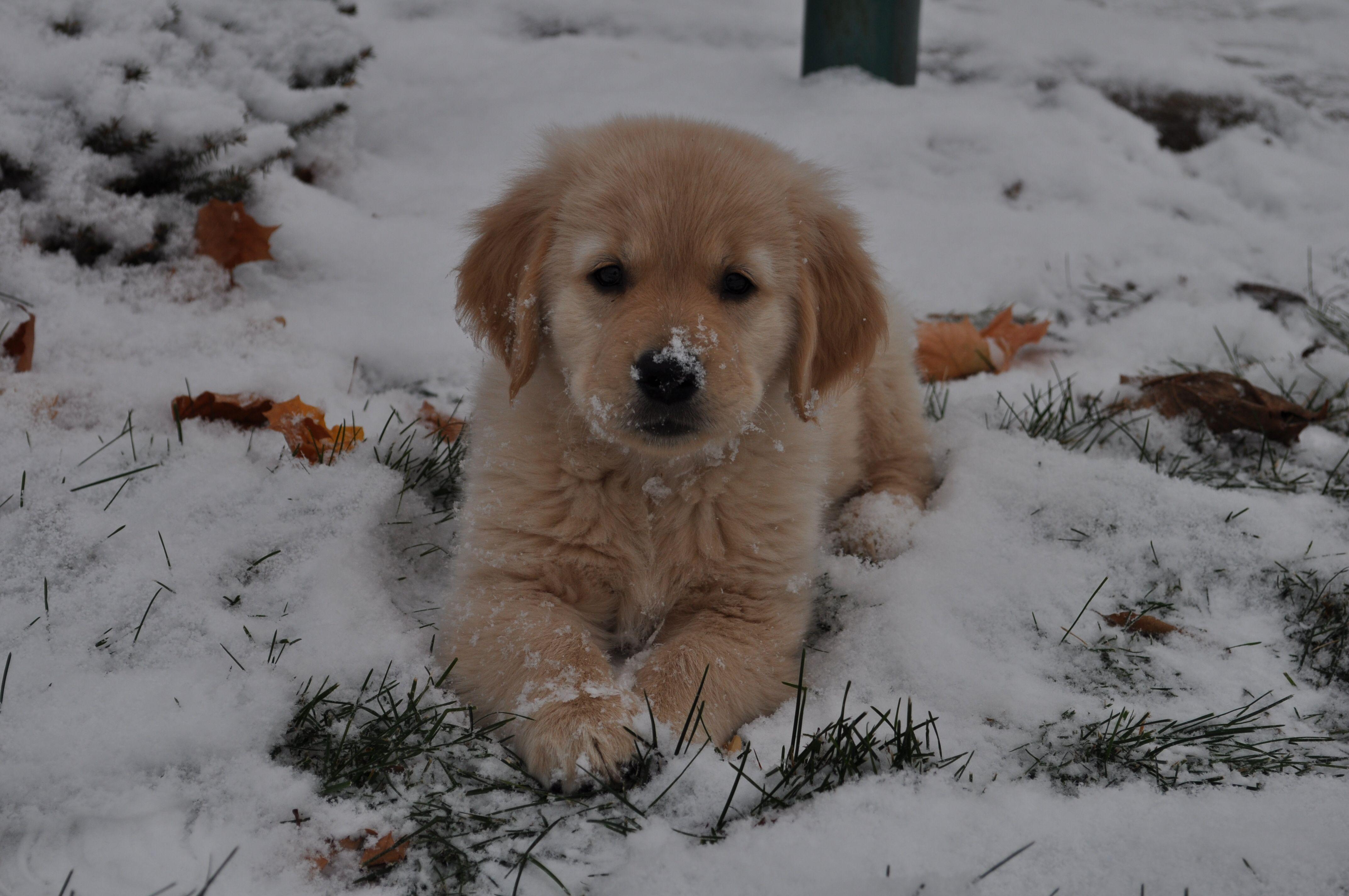 Goldenretriever Puppy Cute Dog Love Winter Snow Cutedog
