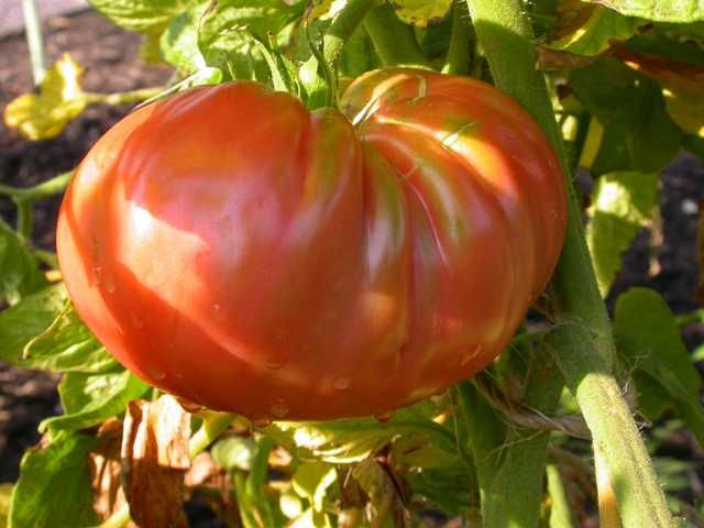 Top Ten Vegetables For St Louis 1 Tomatoes With So 640 x 480