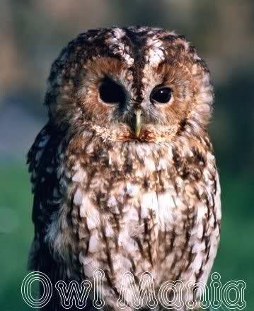 amazing owl pictures | amazing owls