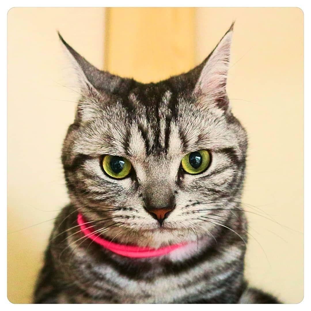 American Shorthair Cat In 2020 American Shorthair Cat American Shorthair American Shorthair Kitten