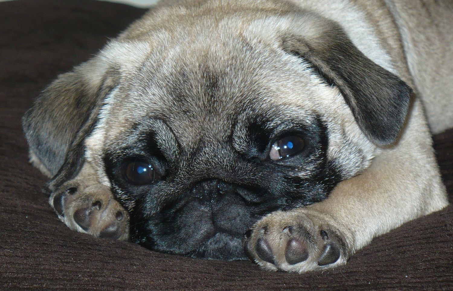 Ivy The Cutest Pug In The World Cute Pugs Pugs Mans Best Friend