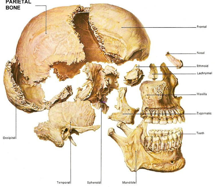 bones of the skull with the parietal bone highlighted | human, Human Body
