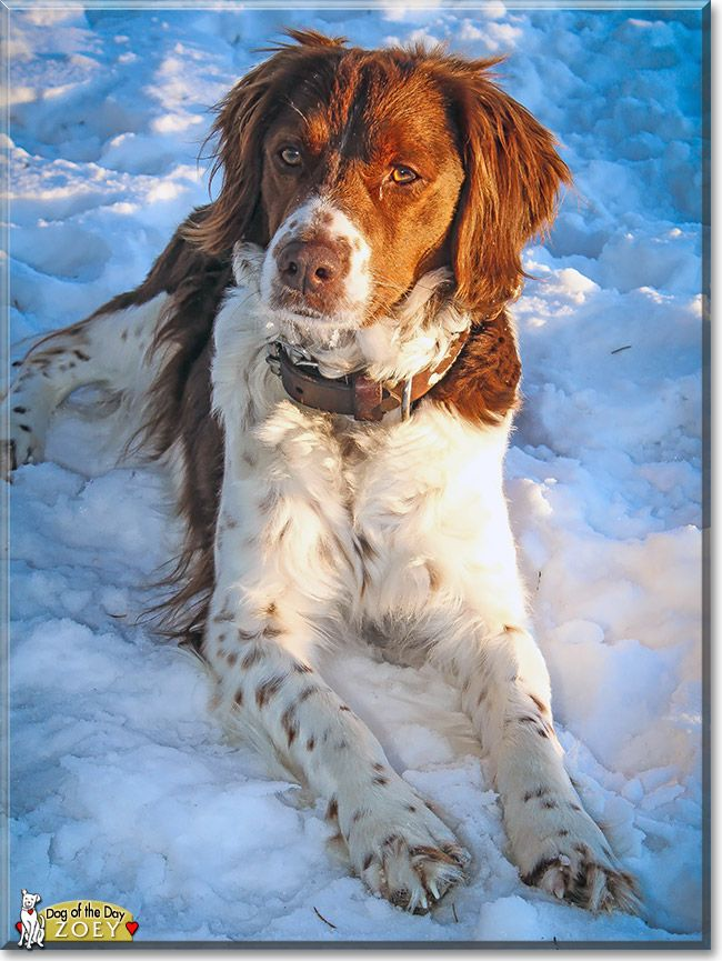 Read Zoey's story the Brittany Spaniel from Minnesota and