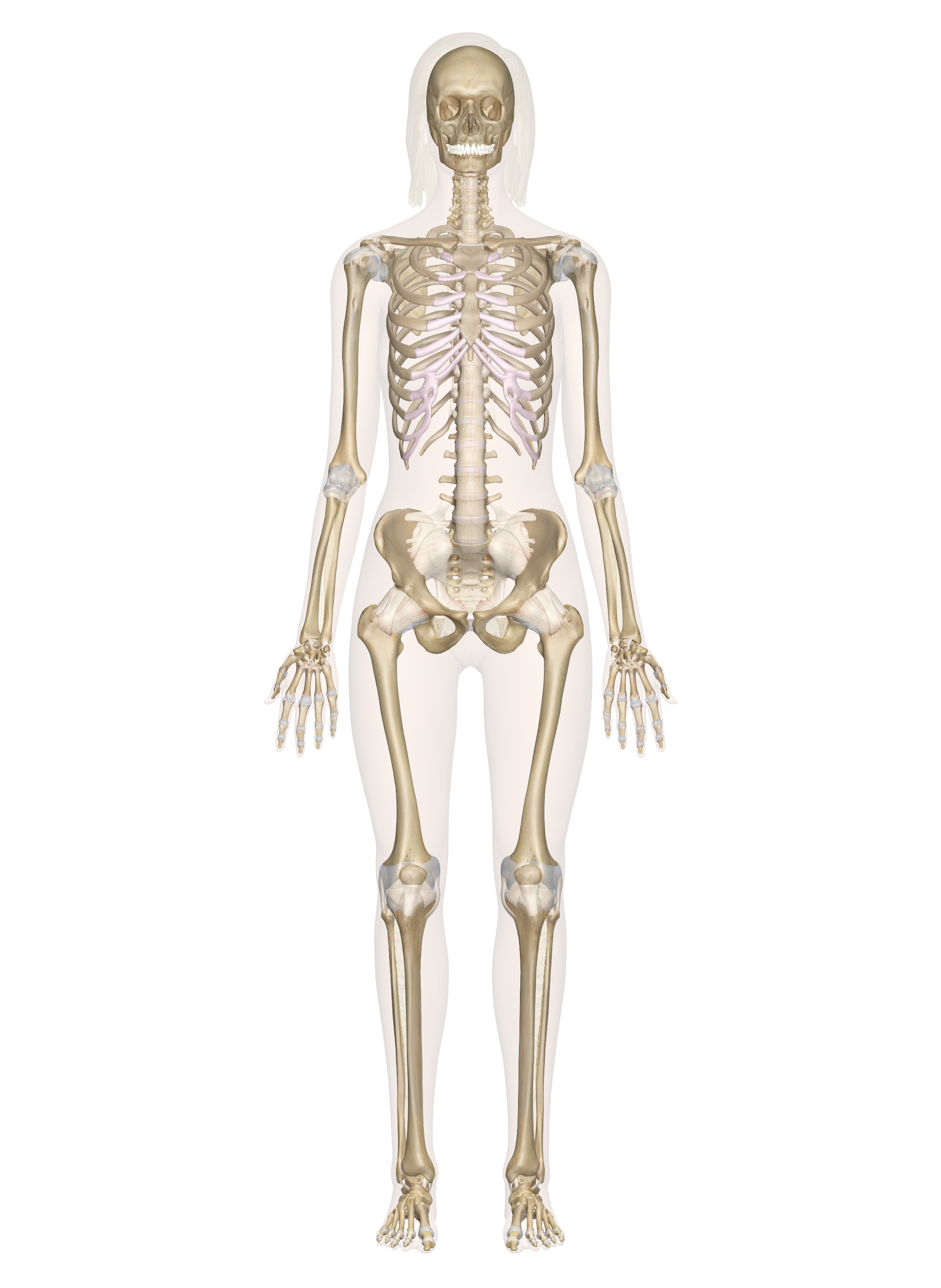 Skeletal System Labeled Diagrams Of The Human Skeleton