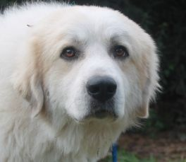 Kratos is an adoptable Great Pyrenees Dog in Houston, TX. Please fill out our short application - the link is below - we are FAST! Our applications are usually processed in less than 7 days but we hav...