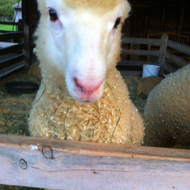 Friendly, Adorable Sheep At Shelburne Farms.