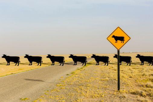 482146093-cows-crossing-road-behind-cow-crossing-sign-gettyimages.jpg 507×338 pixels