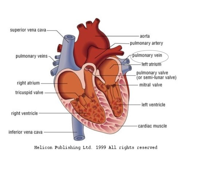 Two pulmonary veins emerge from each lung and receive blood from ...