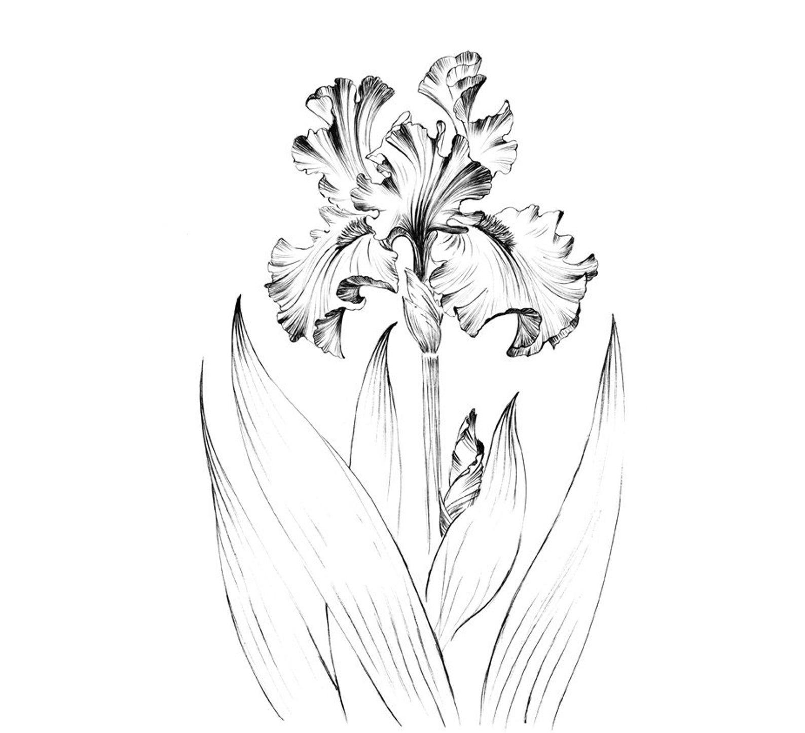 Iris Flower Sketch Living Room Art Large Print Clip Art Etsy In 2020 Flower Sketches Iris Flowers Floral Poster