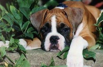 Szczeniak Cute Little Boxer Who Lives In Poland Boxer Dogs Boxer Love Cute Boxer Puppies