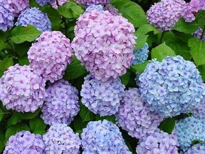Hydrangea Big Daddy Pp 14527 Blue Hydrangea Flowers Hydrangea Seeds Flower Seeds