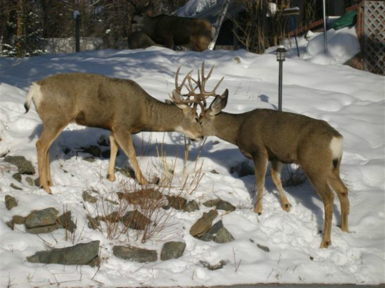 B.C. proposes limits to mule deer hunt to help declining buck population   CBC News