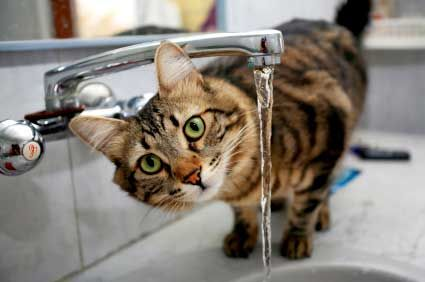 Does your cat do this?? We care for many cats who prefer drinking from running water. For those who don't have a drinking fountain, our pet sitter can run the tap for your cat when we come for a visit. #petsitting