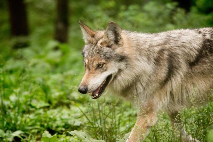 The Endangered Wolf Center in Eureka is an amazing non-profit that works to preserve and protect wolf populations through educational programs, managed breeding, and reintroduction to the wild.