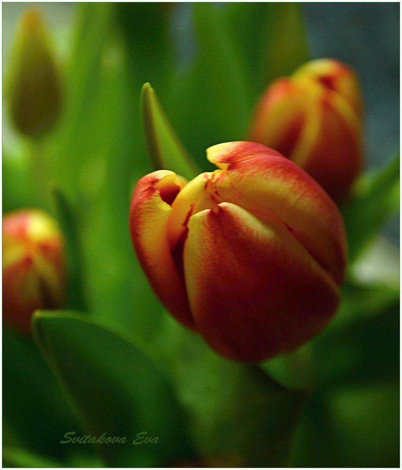 First Spring Tulip Buds By Svitakovaeva Flores Pinterest Flowers