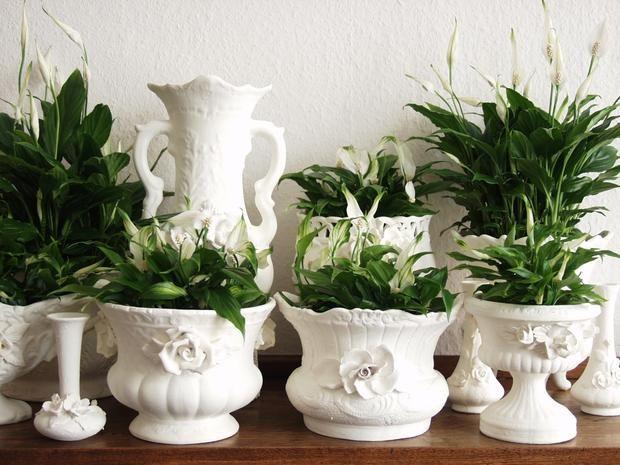 Kwiaty Doniczkowe Do Domu Kwiaty Doniczkowe Rosliny Doniczkowe Fotogaleria Air Purifying Plants Plants Spathiphyllum
