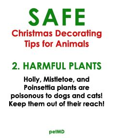 Holly Mistletoe And Poinsettia Plants Are Poisonous To Dogs And Cats Health Tips Safety Animals Pets Christmas Poinsettia Plant Harmful Plants Plants