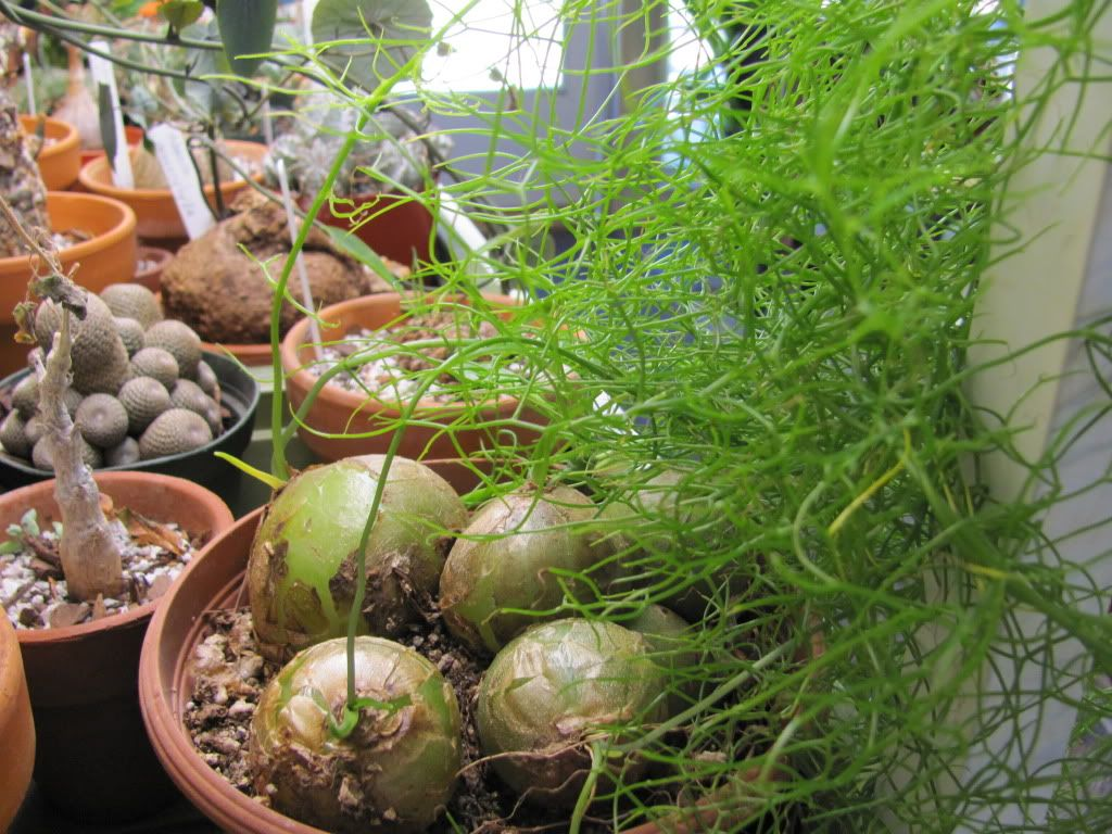 Interior designs medium size vertically growing onions growing onions - Bowiea Volubilis Climbing Onion