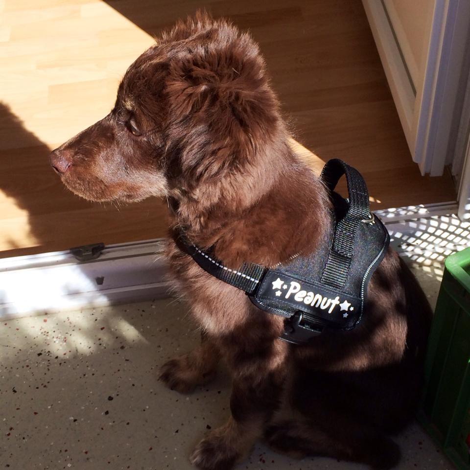 Peanut Australian Shepherd Hunde Ronnenberg