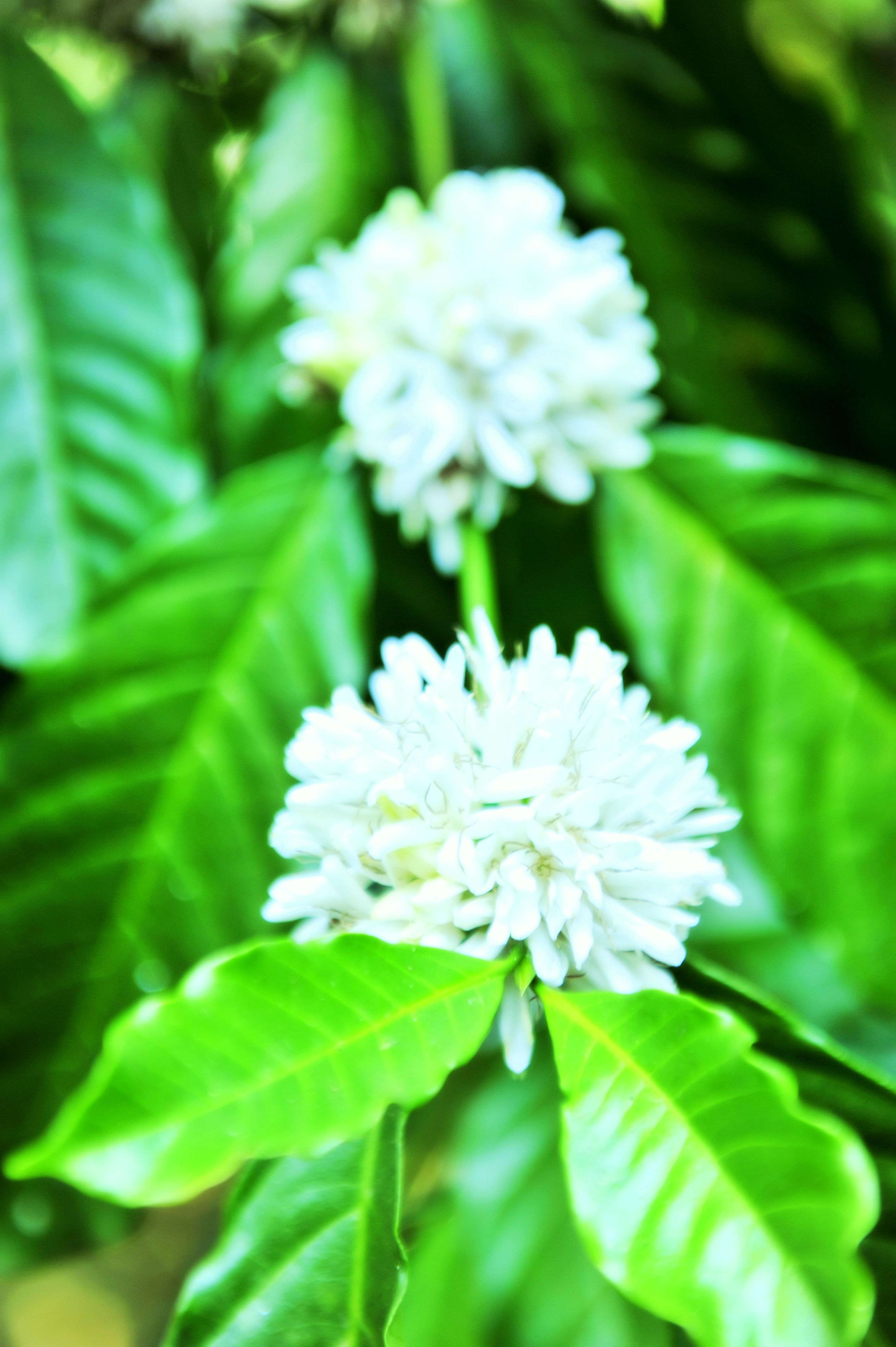 Coffee Blossoms ~ comes every year, stays only over a week and then metamorphose to Coffee beans thereafter, these magical flowers carpets entire Coorg like snowfall and smells like jasmine. #coorgcoffee, #holidayincoorg # Resort in Coorg http://www.meriyanda.com/